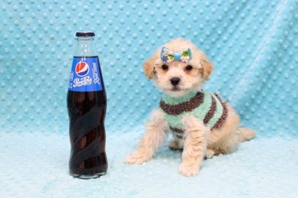 Samuel Adams - Teacup MaltiPoo Puppy Found His Good Loving Home With Paulina C. In Los Angeles Ca, 90024-23096