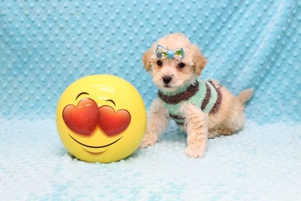 Samuel Adams - Teacup MaltiPoo Puppy Found His Good Loving Home With Paulina C. In Los Angeles Ca, 90024-23097