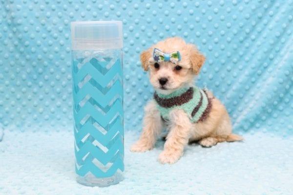 Samuel Adams - Teacup MaltiPoo Puppy Found His Good Loving Home With Paulina C. In Los Angeles Ca, 90024-23099