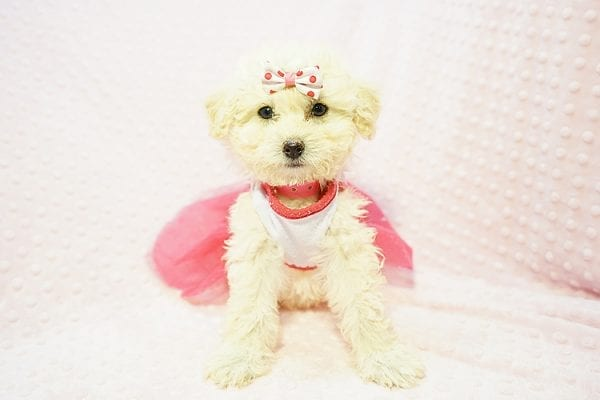 Snooki - Toy Poodle Puppy Found HEr Good Loving Home With Arpy N. In Encino CA, 91436-22824