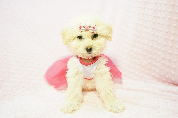 Snooki - Toy Poodle Puppy Found HEr Good Loving Home With Arpy N. In Encino CA, 91436-22825