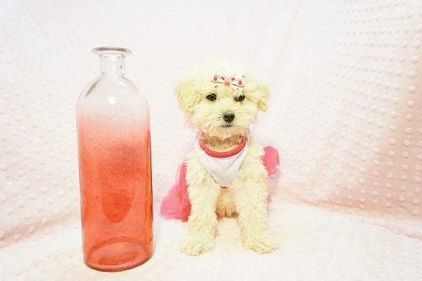 Snooki - Toy Poodle Puppy Found HEr Good Loving Home With Arpy N. In Encino CA, 91436-22827
