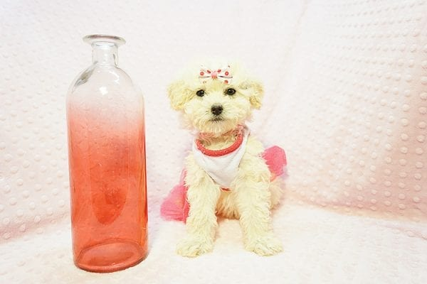 Snooki - Toy Poodle Puppy Found HEr Good Loving Home With Arpy N. In Encino CA, 91436-22829