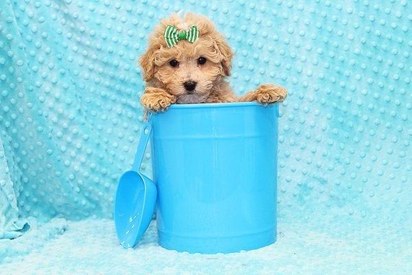 Stephano Ricci - Toy MaltiPoo Puppy in Costa Mesa-22915