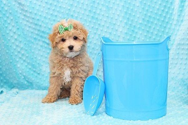 Stephano Ricci - Toy MaltiPoo Puppy in Costa Mesa-22917