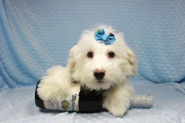 Thumper - Toy Maltipoo Puppy has found a good loving home with Dianna from Las Vegas, NV.-23710