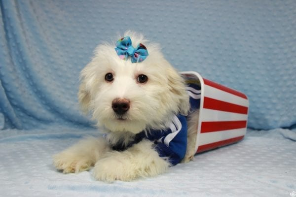 Thumper - Toy Maltipoo Puppy has found a good loving home with Dianna from Las Vegas, NV.-0