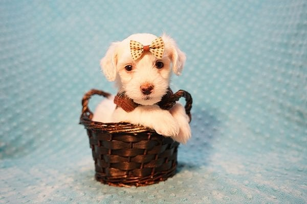 Thumper - Toy Maltipoo Puppy has found a good loving home with Dianna from Las Vegas, NV.-23332