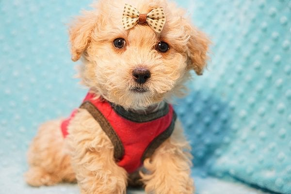 Vinnie - Teacup Poodle Puppy has found a good loving home with Donna from Las Vegas.-23043