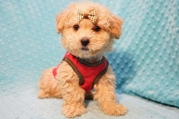 Vinnie - Teacup Poodle Puppy has found a good loving home with Donna from Las Vegas.-0