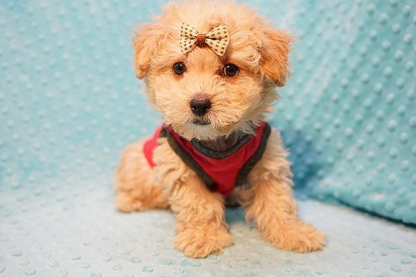 Vinnie - Teacup Poodle Puppy has found a good loving home with Donna from Las Vegas.-23045