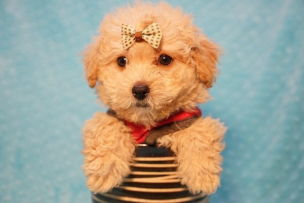 Vinnie - Teacup Poodle Puppy has found a good loving home with Donna from Las Vegas.-23046
