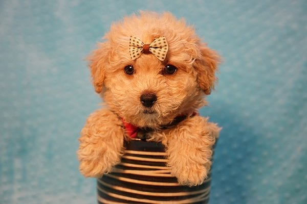 Vinnie - Teacup Poodle Puppy has found a good loving home with Donna from Las Vegas.-23047