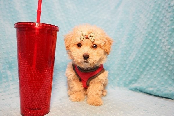 Vinnie - Teacup Poodle Puppy has found a good loving home with Donna from Las Vegas.-23048