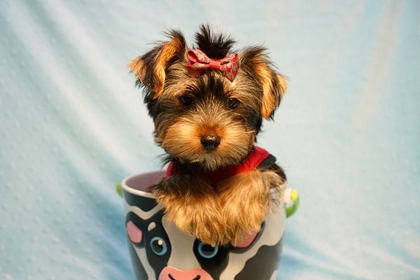 Burberry- Toy Yorkie Puppy Found his new Loving Home with Raudel from Goleta CA 93117-23406