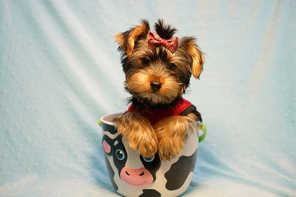 Burberry- Toy Yorkie Puppy Found his new Loving Home with Raudel from Goleta CA 93117-0