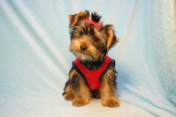 Burberry- Toy Yorkie Puppy Found his new Loving Home with Raudel from Goleta CA 93117-23402