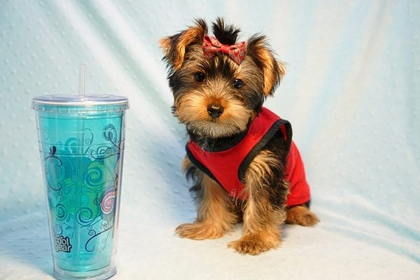 Burberry- Toy Yorkie Puppy Found his new Loving Home with Raudel from Goleta CA 93117-23403