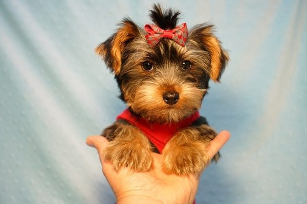 Burberry- Toy Yorkie Puppy Found his new Loving Home with Raudel from Goleta CA 93117-23404