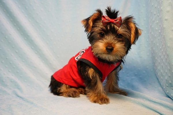 Burberry- Toy Yorkie Puppy Found his new Loving Home with Raudel from Goleta CA 93117-23405