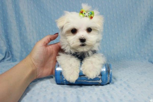 Captain America - Teacup Maltipoo Puppy has found a good loving home with Elizabeth from Santa Clarita, CA 91310-0
