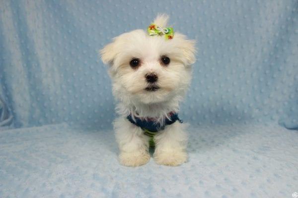 Captain America - Teacup Maltipoo Puppy has found a good loving home with Elizabeth from Santa Clarita, CA 91310-23305