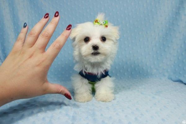 Captain America - Teacup Maltipoo Puppy has found a good loving home with Elizabeth from Santa Clarita, CA 91310-23306