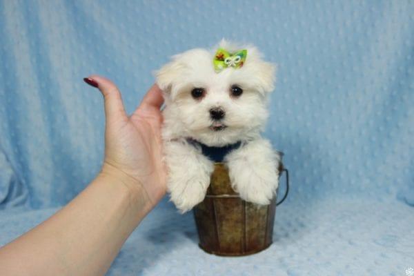 Captain America - Teacup Maltipoo Puppy has found a good loving home with Elizabeth from Santa Clarita, CA 91310-23307