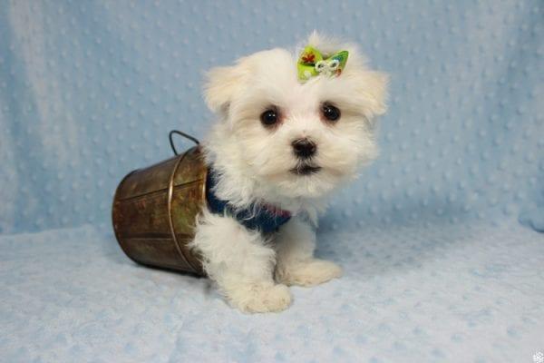 Captain America - Teacup Maltipoo Puppy has found a good loving home with Elizabeth from Santa Clarita, CA 91310-23308
