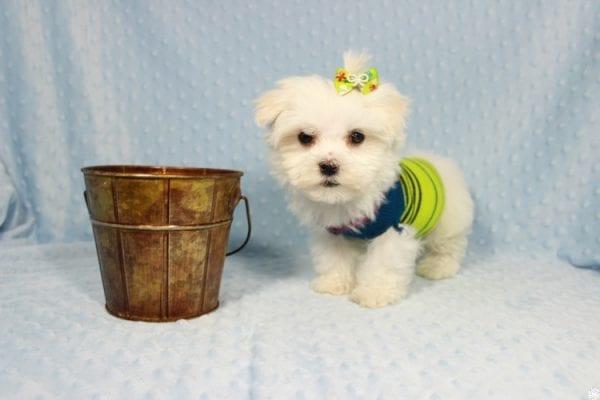 Captain America - Teacup Maltipoo Puppy has found a good loving home with Elizabeth from Santa Clarita, CA 91310-23309