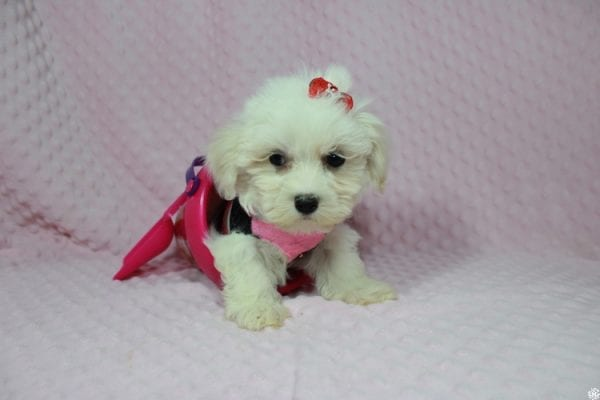 Debby Ryan - Toy Maltipoo Puppy has found a good loving home with Michael from North Las Vegas, NV 89085-23321