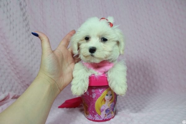 Debby Ryan - Toy Maltipoo Puppy has found a good loving home with Michael from North Las Vegas, NV 89085-23322