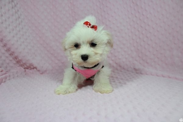 Debby Ryan - Toy Maltipoo Puppy has found a good loving home with Michael from North Las Vegas, NV 89085-23318