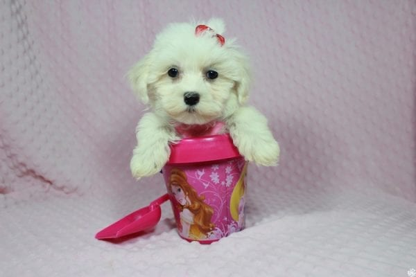 Debby Ryan - Toy Maltipoo Puppy has found a good loving home with Michael from North Las Vegas, NV 89085-0