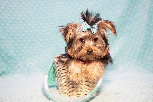 Donald Trump - Micro Yorkie Found His New Loving Home with James and Gracia from Westlake Village CA 91362-23267
