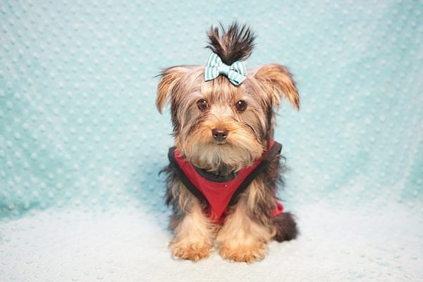 Donald Trump - Micro Yorkie Found His New Loving Home with James and Gracia from Westlake Village CA 91362-23262