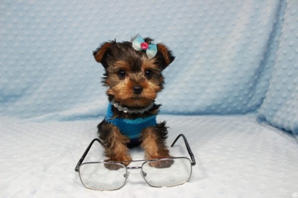Vegas Golden Knight - Teacup Yorkie Puppy has found a good loving home.-23363