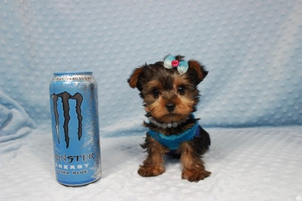 Vegas Golden Knight - Teacup Yorkie Puppy has found a good loving home.-0