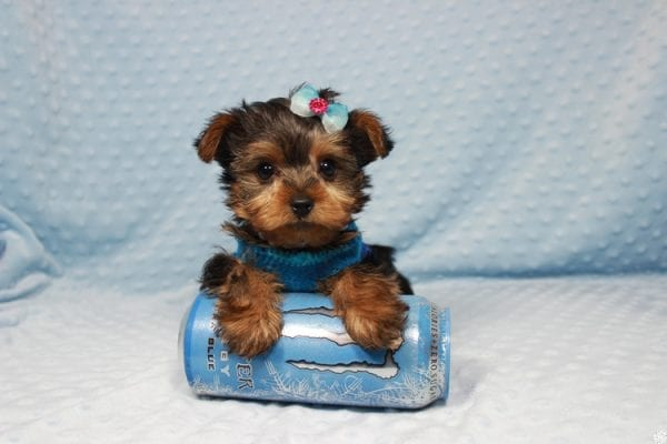Vegas Golden Knight - Teacup Yorkie Puppy has found a good loving home.-23365