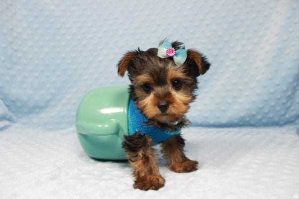Vegas Golden Knight - Teacup Yorkie Puppy has found a good loving home.-23366
