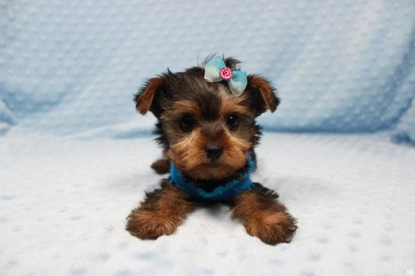 Vegas Golden Knight - Teacup Yorkie Puppy has found a good loving home.-23360