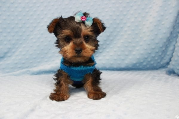 Vegas Golden Knight - Teacup Yorkie Puppy has found a good loving home.-23361