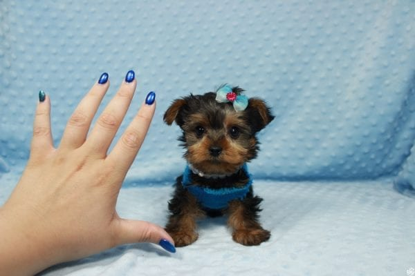 Vegas Golden Knight - Teacup Yorkie Puppy has found a good loving home.-23362
