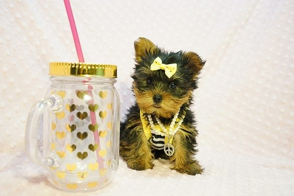 Kate Midelton - Teacup Yorkie Puppy Found Her New Loving Home with Debbie From Tucson AZ 85739-0