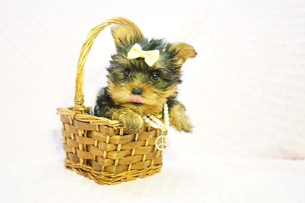 Kate Midelton - Teacup Yorkie Puppy Found Her New Loving Home with Debbie From Tucson AZ 85739-23213