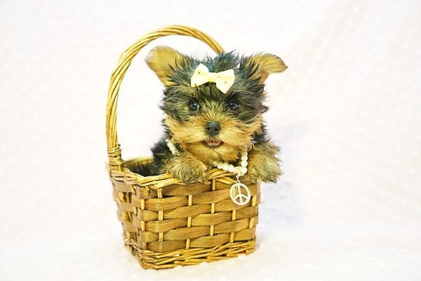 Kate Midelton - Teacup Yorkie Puppy Found Her New Loving Home with Debbie From Tucson AZ 85739-23214