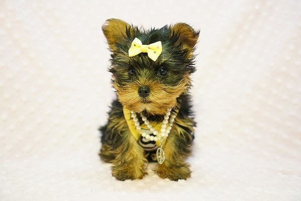 Kate Midelton - Teacup Yorkie Puppy Found Her New Loving Home with Debbie From Tucson AZ 85739-23215