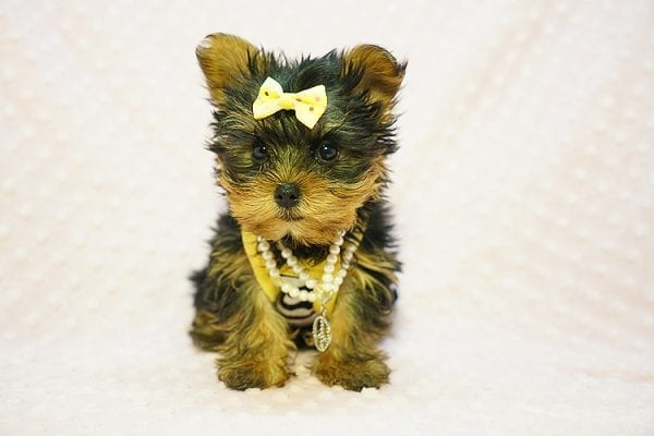 Kate Midelton - Teacup Yorkie Puppy Found Her New Loving Home with Debbie From Tucson AZ 85739-23212