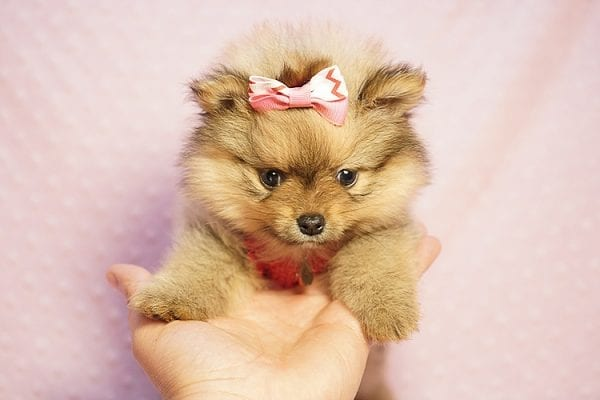 Latte - Teacup Pomeranian Puppy Found her New Loving Home with Sandra from Irvine CA 92612-23511