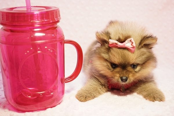 Latte - Teacup Pomeranian Puppy Found her New Loving Home with Sandra from Irvine CA 92612-23513